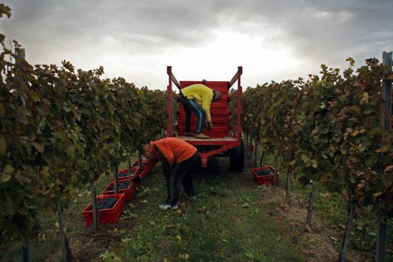 radnici na berbi voća