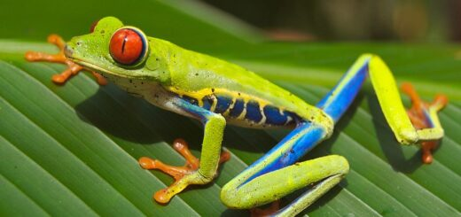 Crvenooka šumska žaba; Foto: Carey James Balboa / Wikipedia