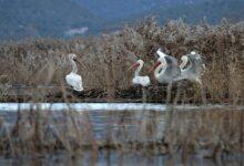 Crna Gora: da li će preporuka Strazbura pomoći u borbi protiv uništavanja Skadarskog jezera